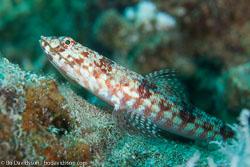 BD-120424-Marsa-Alam-6411-Synodus-variegatus-(Lacepède.-1803)-[Variegated-lizardfish].jpg